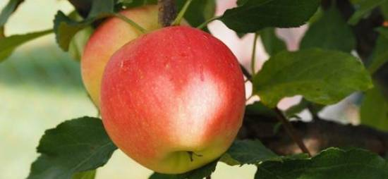 Apples are rich in nutrients